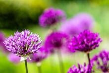 Jardin D'allium, Magnifique Fleur Violette En Forme De Boule Sur Un Fond Vert
