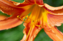 Closeup Of An Orange Lily Blooming In A Garden