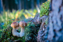 Porcini Mushrooms Growing In Forest