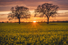 Oilseed Rape Field At Sunset