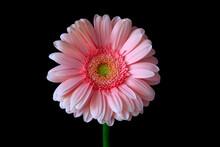 Studio Shot Of Pink Blooming Gerbera Flower