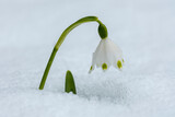 White Spring Snowflake flower in snow during winter
