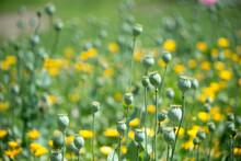 Field Of Poppy Seed Heads Under The Sun