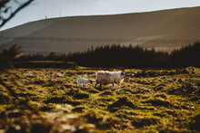 Sheep And Her Lamb At A Ring Fort In Castletownbere, West Cork, Ireland.