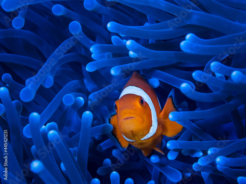 One small orange clownfish looks curiously from a bright blue anemone Fototapet