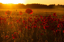 Beautiful Red Poppy Flower Field On A Sunset