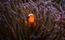Lilac Anemone In Which A Small Clown Fish Lives