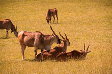 Group Of Giant Eland Antelopes Resting In A Field.
