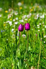 Two Purple Tulips Blooming In Springtime Meadow