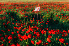 Painted Canvas Amidst Red Poppy Flowers At Field On Sunny Day