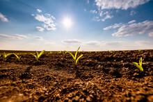 Sun Shining Over Corn Seedlings Growing In Plowed Field