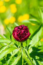 Head Of Red Blooming Peony