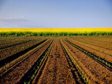 Corn Seedlings Growing In Plowed Field