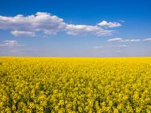 Vast Oilseed Rape Field In Summer