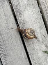 Garden Edible Grape Snail (Helix Pomatia) On A Wooden Deck.