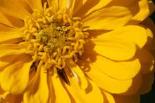 Closeup Of A Beautiful Yellow Zinnia Flower On A Sunny Day