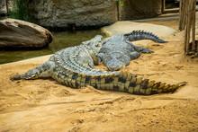 Crocodiles Lying On The Sand At The Zoo