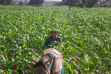 Farmer With Horse Ploughing Corn Field