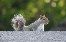Adorable Grey Squirrel In The Park With Green Bokeh Lights On The Background