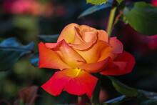 Rose Im Rosenstock