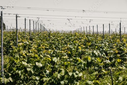 Foto Green grape field or vineyard at the Bismarck Tower in Constance, Germany
