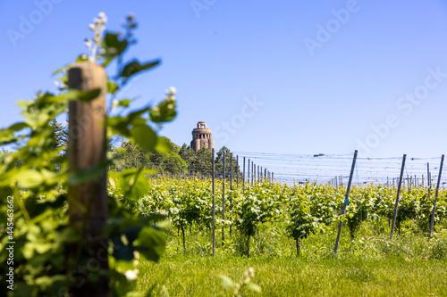 Green grape field or vineyard at the Bismarck Tower in Constance, Germany Fotobehang