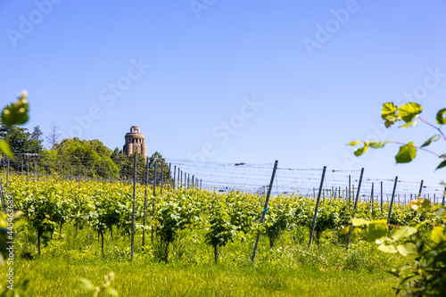 Fotografiet Green grape field or vineyard at the Bismarck Tower in Constance, Germany