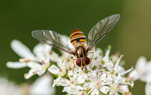 Marmalade Hover Fly Close Up On A Flower