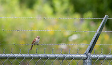 A Contrast Scene Of A Beautiful Little Sparrow On A Large Ugly Barbed Wire Fence In A Rural Field