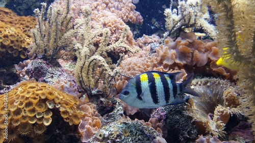 Canvas En ambiente submarino un pez multicolor rodeado de algas y corales