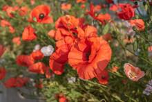 A Red Poppy Flower With Black Stamens