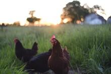 Range Chickens