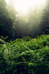 Lush green fern in front of a foggy Swiss forest in summer