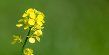 Small Yellow Flower In Nature.