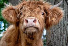 Schottische Hochlandrinder Kühe Und Kälber