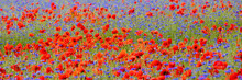 Field With Red Poppies And Cornflowers Bloom