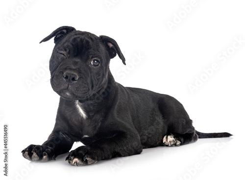Billede på lærred puppy staffordshire bull terrier
