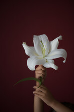 A Little Girl Of 6 Years Old With A White Large Lily On A Dark Red Background.