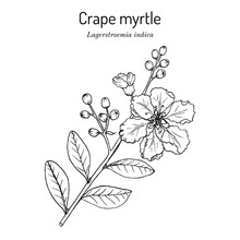 Crape Myrtle, Or Crepeflower Lagerstroemia Indica , State Flower Of Texas