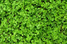 Green Grass With Small Leaves