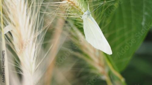 Foto mariposa blanca succionando el polen de una espiga de cereal con su larga lengua