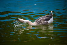 A Goose Jiggling Her Neck And Splashish Water