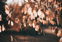 Beautiful Autumn Scene With Orange Leaves And Blurred Brown Branches. Falling Leaves Natural Outdoor Landscape Background Design For Social Media, Seasonal Quotes. Vintage Fall Wallpaper.