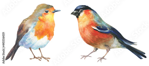 Fotografie, Obraz watercolor robin and bullfinch birds isolated on white background