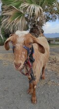 Brown Goat With Blue Eyes