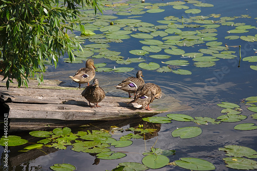 Fototapeta Wild ducks on the river with water lilies