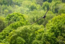 Turkey Vulture At Mount Nemo Conservation Area, Halton, Ontario