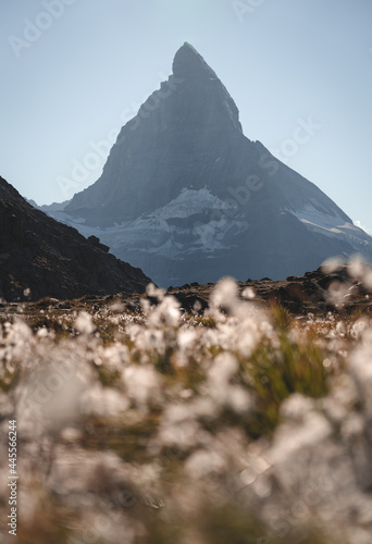 Cotton grass in front of the famous Matterhorn, seen from the Riffelsee.