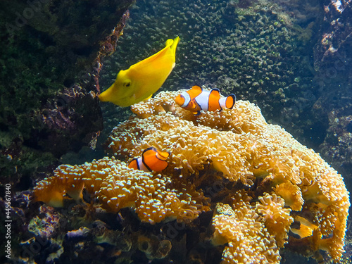 Tela Selective focus of clownfish and a yellow butterflyfish on sea anemone