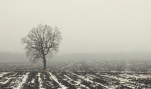 Lonely Tree In Winter In Field In Fog On Ground With White Snow And Black Ground